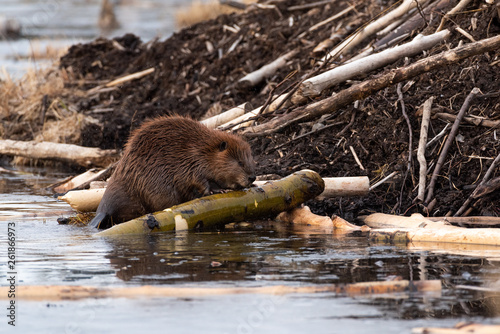 Photo A large castor canadensis beaver chewing on popular branch