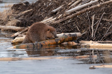 A Large Female Castor Canadensis Beaver Chewing On A Popular Log On The Beaver House