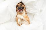 Widok z góry portret zabawnego psa leżącego na poduszce w łóżku zawiniętym w puszysty biały koc, miejsce na kopię