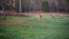 Two White Tail Deer One Antler Run Away