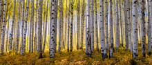 Golden Grove Of Aspen Trees Taken During Peak Fall Colors In The Rocky Mouintinas Of Colorado Fills Out This Wide Panoramic Shot