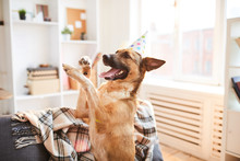 Portrait Of Happy Dog Dancing Enjoying Birthday Party, Copy Space