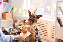 Portrait Of Unrecognizable Woman Giving Birthday Cake To Dog, Copy Space
