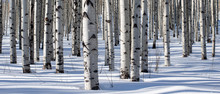 Panoramic Shot Of Winter Aspen...