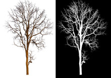 Single Tree Without Leaf With Clipping Path And Alpha Channel