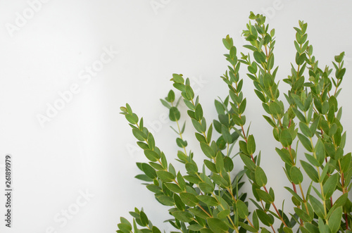 Fototapety, obrazy: Green leaves eucalyptus populus on white background. flat lay, top view