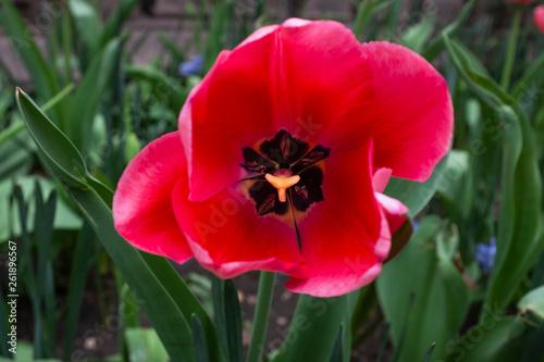 Photo  an opened tulip
