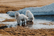 Two Samoyed dogs playing in melt water next to a snow pile in April.