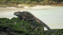 Marine Iguana On The Shore Of ...