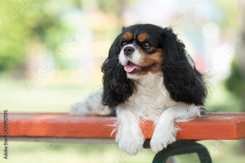 Cavalier king charles spaniel in summer park Wallpaper Mural