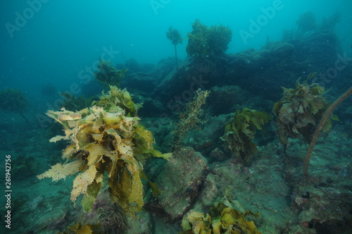 Fotografía  Rugged underwater terrain with boulders and with deteriorating forest of brown seaweeds