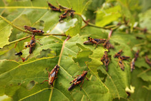 Hungry Locust Larvae
