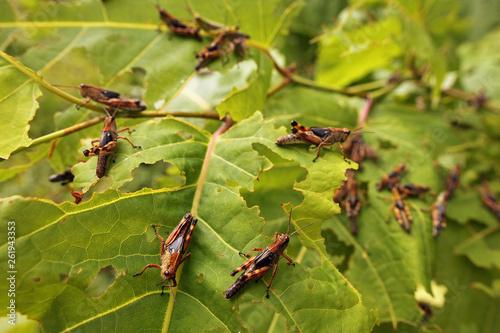 Cuadros en Lienzo Hungry locust larvae