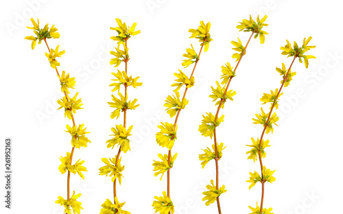 Photo Forsythia is a genus of flowering plants in the olive family Oleaceae