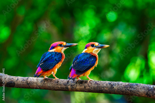 Photo  Two young Oriental dwarf kingfisher, Chiplun, Maharashtra, India.