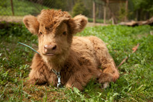 Baby Cattle In Country Side