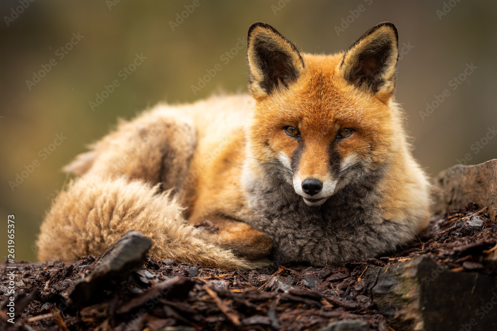 Fototapety, obrazy: Red fox in the forest