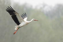 White Stork In The Rain