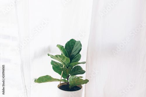 Ficus lyrata Fototapeta
