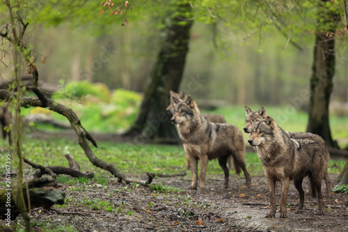 Spoed Fotobehang Wolf Grey Wolf in the rain