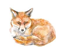 Sleeping Fox. Hand Drawn Watercolor Illustration.