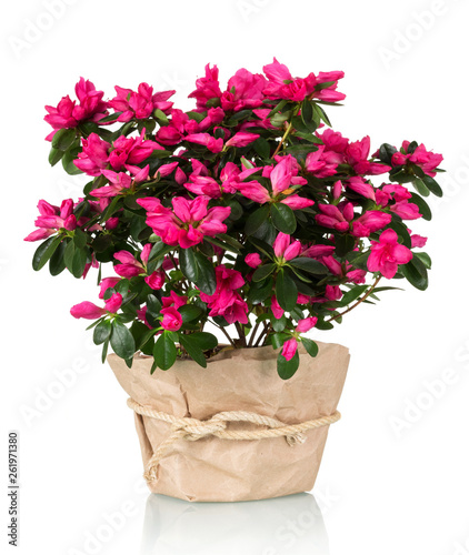 In de dag Azalea Azalea flower in the pot in kraft paper isolated on white