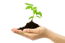 Organic Food Concept - Female Hands Holding Small Plant Of Tomato Growing With Soil On White Background.