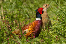 Male And Female Pheasant In Th...