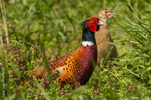 Fotografie, Obraz Male and female pheasant in the field durig matting seasnon