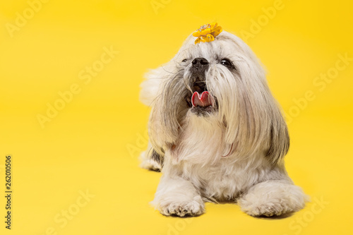Shih-tzu puppy wearing orange bow. Cute doggy or pet is lying isolated on yellow background. The Chrysanthemum Dog. Negative space to insert your text or image. - 262010506