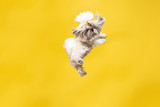 Fototapeta Zwierzęta - Shih-tzu puppy wearing orange bow. Cute doggy or pet is jumping isolated on yellow background. The Chrysanthemum Dog. Negative space to insert your text or image.