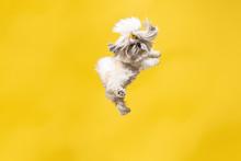 Shih-tzu Puppy Wearing Orange ...