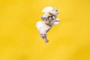 Shih-tzu puppy wearing orange bow. Cute doggy or pet is jumping isolated on y...