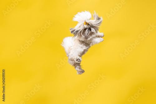 Photo  Shih-tzu puppy wearing orange bow