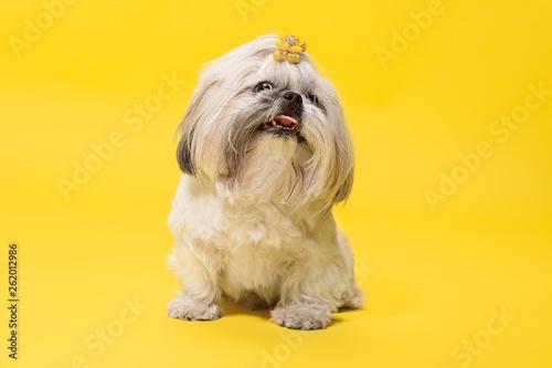 Shih-tzu szczeniak w pomarańczowej kokardce. Śliczny psiak lub zwierzę domowe kłama odizolowywamy na żółtym tle. The Chrysanthemum Dog. Ujemne miejsce na wstawienie tekstu lub obrazu.