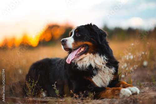 Side view at bernese mountain dog walking outdoor Wallpaper Mural