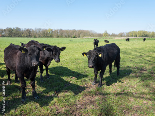фотография  black angus cows in green meadow near geldermalsen in holland