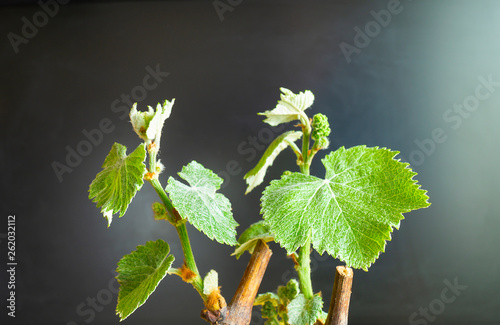Branch of grape with green sheet Canvas Print