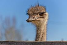 Ostrich Close Up Portrait With...