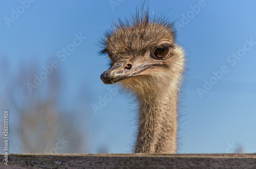 Autruche Ostrich Close up portrait with neck, Close up ostrich head against the blue sky. Struthio camelus.