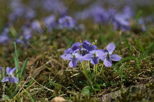 Fotografie, Obraz  Wild medical violet flower Viola odorata growing on the mountain meadow