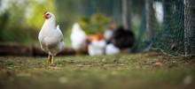 Hen In A Farmyard (Gallus Gall...