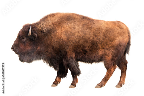 Fotografia bison isolated on white