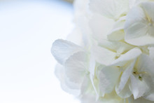 Closeup White Hydrangea Petals. Event Decoration With Fresh Flowers