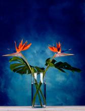 Close Up Of A Beautiful Exotic Orange Strelitzia Reginae Bird Of Paradise Flowers In Glass Vase On Blue Vintage Background.- Image