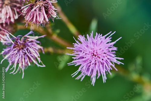 macro color photo of a violet thistle blossom with green blurred background