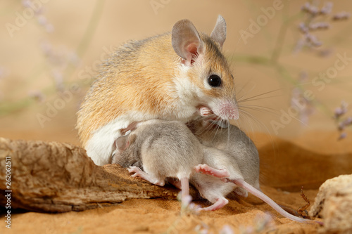 Fotografiet  Close-up female spiny mouse eats insect and breastfeed the offspring