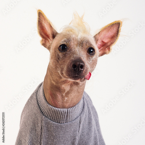 Keuken foto achterwand Crazy dog Close up Portrait of a male Chinese Crested Dog on white background
