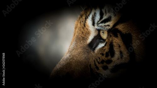 Fotografie, Obraz  Portrait of tiger.