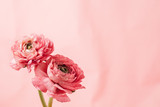 Pink ranunculus (buttercup) on pink background
